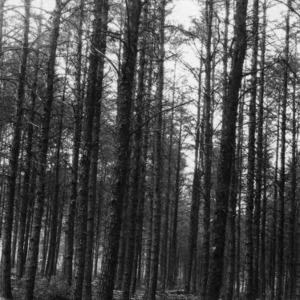 Pine trees under management