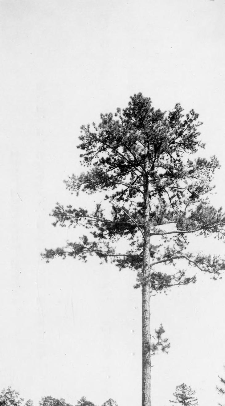 Shortleaf Pine Leaf Pan/zoom · Shortleaf Pine Tree