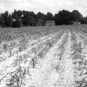Field of corn rows