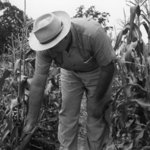 Man examining corn field