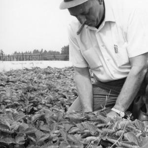 Man examining field of berry bushes