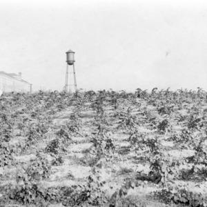 Field of Rotundifolia grape hybrids