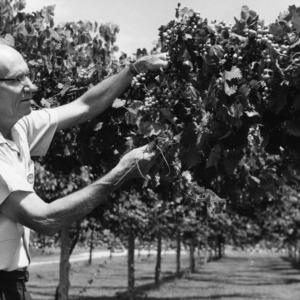 Dr. C. F. Williams examining muscadine grape vineyard