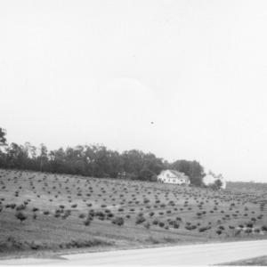Mrs. Carl Prickett's developing peach orchard