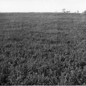 Alfalfa field and orchard grass