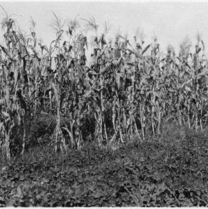 Good crop peanuts and corn