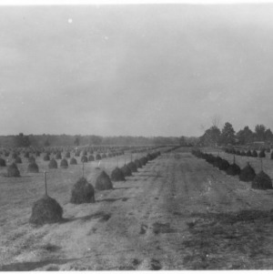 Large peanut field on Forehand Farm