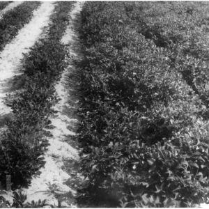 Peanut crops