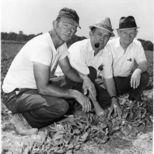 B. H. Harrell, Henry Barnes, and J. Q. Taylor in peanut field
