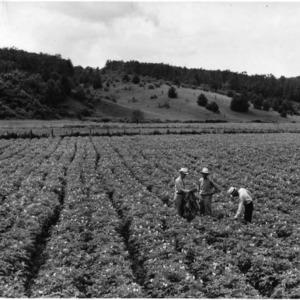 North Carolina State College research workers in Irish potato field