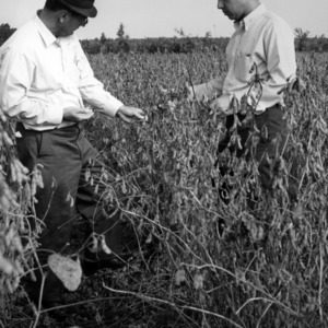 Murray Godwin and Joe Landino examining new ground soybeans