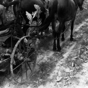 Mule drawn tobacco harvester