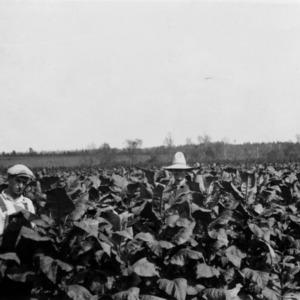 Tobacco field on Ed Blalock farm