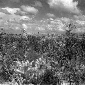 Men in field of tobacco plants