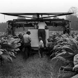 Children and men in tobacco field