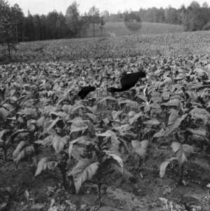 20-acre field of tobacco