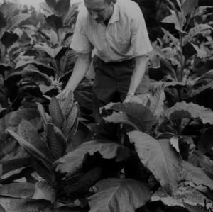 Man conducting tobacco experiments at Clayton Station