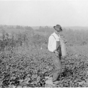 Man spraying snap peas to control Mexican bean beetle