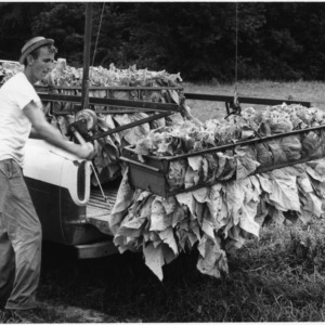 Man loading truck with tobacco ready for curing