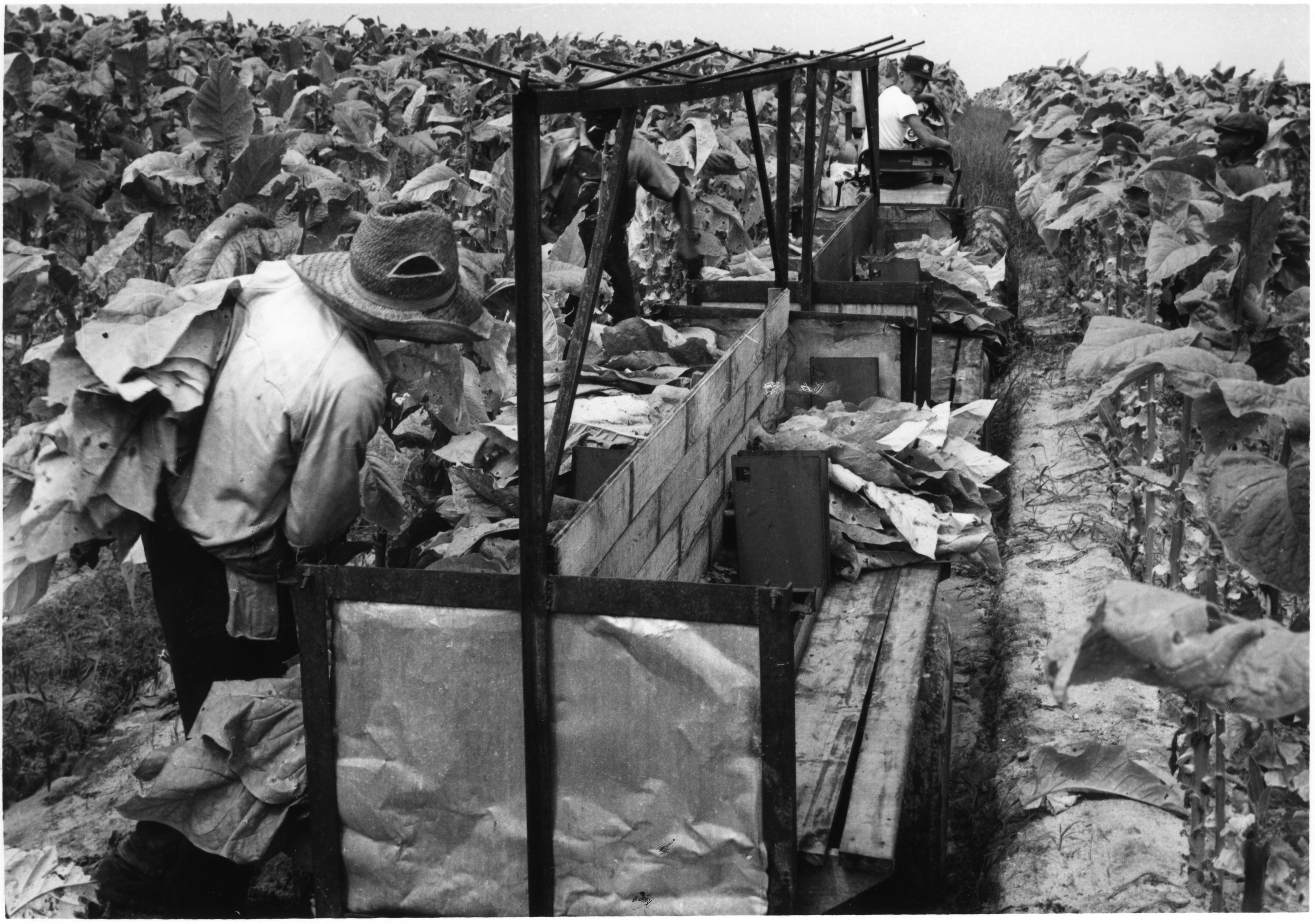 Farm workers harvesting tobacco and fitting leaves into bulk curing racks being pulled by tractor.