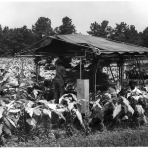 Tobacco workers loading leaves into bulk curing racks