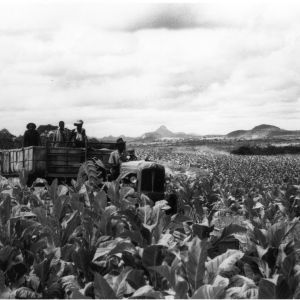 Tobacco workers on tractor in field