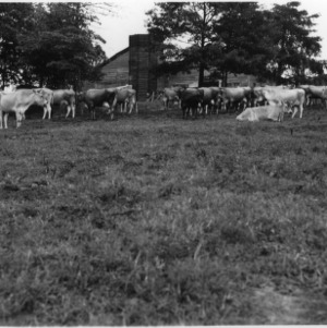 Herd of Jersey Cattle on the farm of Mr. J.M. German, Wilkes County farm tour