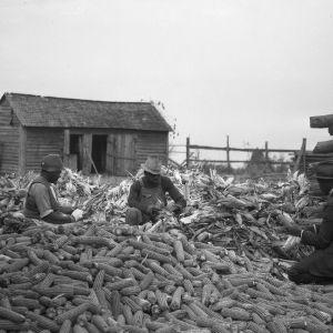 Shucking corn at farm of Jim Jordan