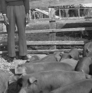 Young man in pen with feeding piglets