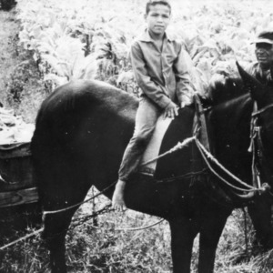 Boy on Mule Pulling Harvested Crop