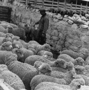 Sheep Selection in Puno, Peru
