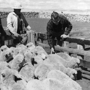 Separating Ewes to Improve Wool Production and Reduce Overgrazing