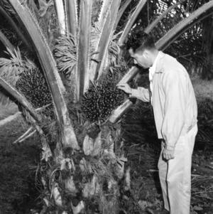 Ing[°] Burgos Examining Oil Palm Seeds, Peru