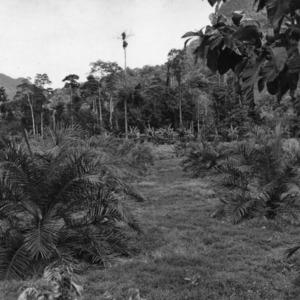 Experimental Oil Palm Plantation, Peru