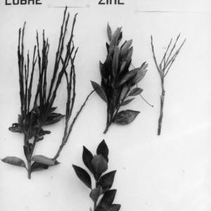 Copper and Zinc Deficiency in Plants, Peru
