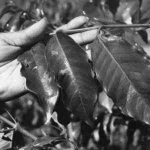 Leaf Miner Damage in Coffee Leaves, Peru