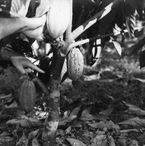 Cacao, Peru