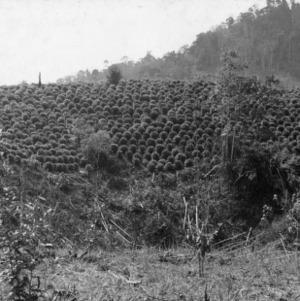Tea Plantation in Rio Azul Area, Peru