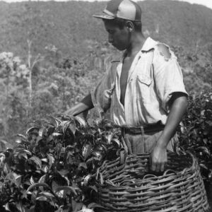Worker Harvesting Tea Leaves, Peru