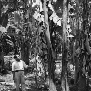 Ing[°] Dieguez Examining a Banana Plantation, Peru