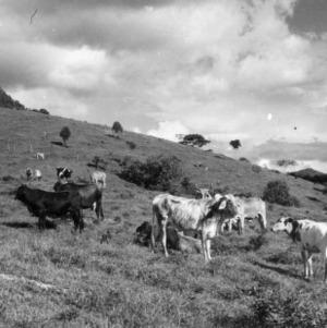 Heifers Grazing, Peru