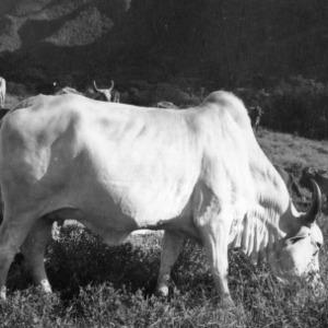 Zebu Cow, Peru
