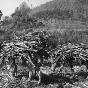 Burros Hauling Sugarcane, Peru
