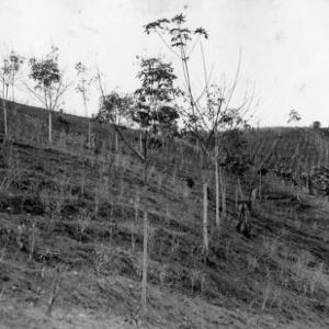 Rubber Trees on Farm, Peru