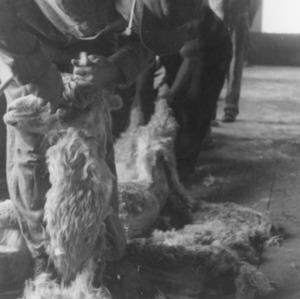 Alpaca Shearing, Chuquibambilla, Peru
