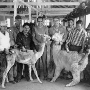 Two llamas, one shorn