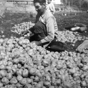 Potato Grading