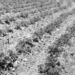 Potato Project in Chacan, Rows Run on Contour