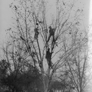 Three in a Tree, Harvesting Pecans