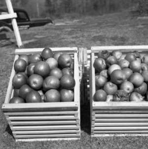 Apple Storage Experiment at Brushy Muontains Apple Research Laboratory, Wilkes County, March 1941